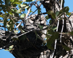 Whiskered_Screech-Owl_Upper_Miller_Canyon_Sierra_Vista_AZ_2018-11-03_12-44-27__31895104988_.jpg