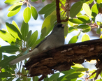 Dark-eyed_Junco__Gray-headed_Rockies-Great_Basin-no_bicolored_bill__Upper_Miller_Canyon_Sierra_Vista_AZ_2018-11-03_10-54-06__31895111058_.jpg
