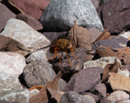 Tachinid_Fly_Huachuca_Canyon_Sierra_Vista_AZ_2018-09-09_10-20-01__44765280285_.jpg