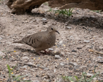 Common_Ground-Dove_San_Pedro_House___River_Sierra_Vista_AZ_2019-05-06_11-52-31__47762255252_.jpg