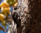 Arizona_Woodpecker__male__Lower_Huachuca_Canyon_Sierra_Vista_AZ_2018-11-10_12-55-59__46132655141_.jpg