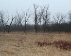 Oak_savanna_in_Fox_River_Grove__Illinois.jpg