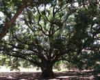 The_City_s_Historic_Freedom_Tree.jpg