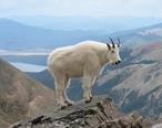 Mountain_Goat_Mount_Massive.JPG