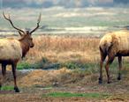 Buttonwillow_Tupman_Tule_Elk_Reserve_California_ungulate_guests.JPG