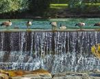 Geese_on_falls_wall_Idaho_Falls.jpg