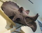 Maximum_Triceratops.jpg