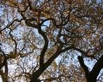 Old_oak_tree__Thousand_Oaks_CA.jpg