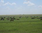 Cattle_north_of_Springlake__TX_IMG_4810.JPG