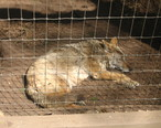 Sleeping_coyote_in_Amarillo_Zoo_IMG_0166.JPG