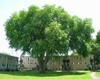 Large_American_Elm_Tree__New_Haven__CT_-_June_10__2017.jpg