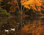 Ducks_in_Fall.jpg