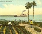 Celery_Growing__Sanford__FL.jpg