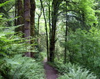 Forest_park_wildwood_trail_in_early_summer_P2860.jpeg