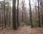 Bottomland_hardwood_forest_amite_river.jpg