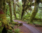 Forks_WA_Hoh_National_Forest_Trail.JPG