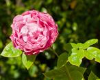 Three_Rivers__California___Western_Holiday_Lodge__flower.jpg