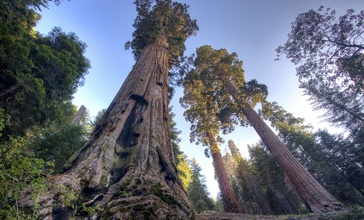Case_mountain_sequoias.jpg