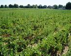 Rowe_s_Produce_Farm_-_Strawberry_Fields.jpg