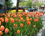 Holland_MI_Tulips_02.jpg