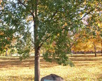VanBurenElm_Plainfield_Indiana.JPG