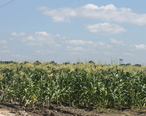 Corn_field_in_Vidalia__LA_IMG_6932.JPG
