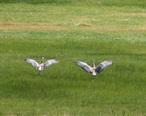 Summer_Lake_Wildlife_Refuge__Oregon__sandhill_cranes_.jpg