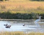 Summer_Lake_Wildlife_Refuge__Oregon__ducks___egret_.jpg