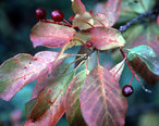 Prunus_virginiana.jpg