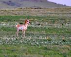 Antelope_aka_Pronghorns.jpg