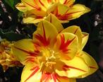 Tulip_Monsella_2006.jpg