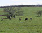 Cattle_grazing_southwest_of_Charlotte__TX_IMG_2514.JPG