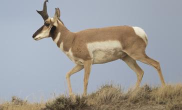 Antilocapra_americana_male__Wyoming__2012_.jpg
