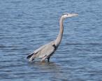 Grey_Heron_in_Seabrook_Texas_2014.jpg