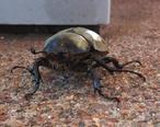 Beetle_in_Pine_AZ.jpg