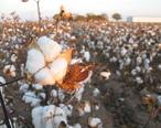 Cotton_field_kv15.jpg