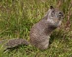 Cambria_ground_squirrel.jpg