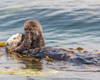 A_newborn_baby_Sea_Otter__Enhydra_lutris__Morro_Bay.jpg