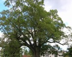 Old_Oak_Tree_-_Scarsdale_Woman_s_Club_-_Scarsdale__NY_-_September_2012.jpg