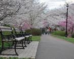 Cherry_Blossom_in_Branch_Brook_Park__NJ_-_2012.JPG