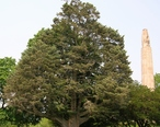 White_Fir_Tree_in_Walnut_Hill_Park__New_Britain__CT_-_June_9__2011.jpg