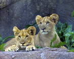 Lion_cubs__Seneca_Park_Zoo__Rochester__NY.jpg
