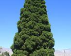 Young_giant_sequoia_Sequoiadendron_giganteum_in_Big_Pine_CA.jpg