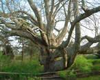 Old_Linden_Tree_-_Chatham__MA_-_April_2012.jpg