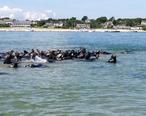 Seals_in_Chatham__MA_harbor.jpg
