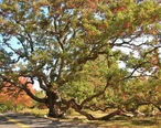 Dewey_Oak_Tree_-_White_Oak__Granby__CT_-_October_17__2010.jpg