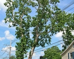 Revolutionary_Sycamore__Danbury__CT_-_July_14__2012.jpg