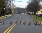 LS_geese.jpg