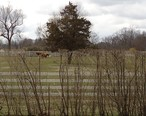 Cows_on_a_farm_in_Rumson_NJ.JPG