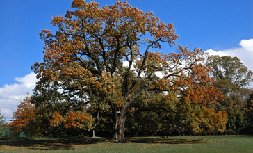 Old_oak_tree_in_Florham_Park_NJ.jpg